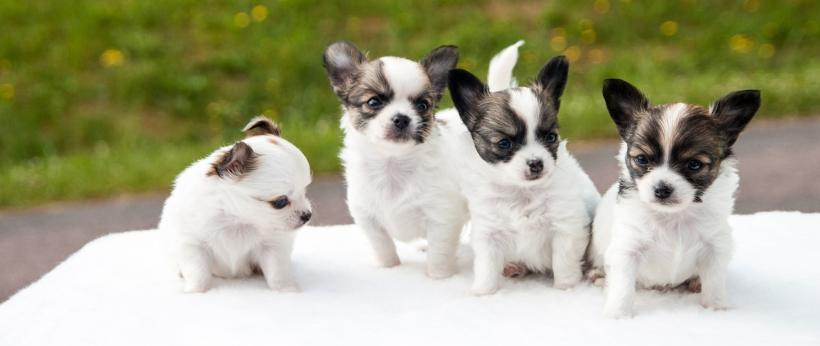 puppies-453532_1920